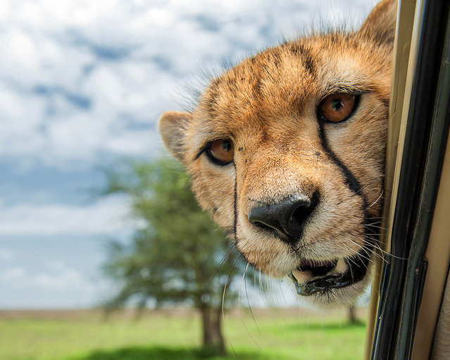 'Driver! Folow that gazelle!' A big cat pokes its head round a car window. (Photo by Marc Mol/Comedy Wildlife Photography Awards/Mercury Press)