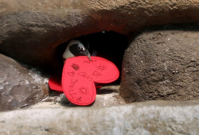 An African Penguin pulls a Valentine's Day card into its nest box at the California Academy of Sciences on February 13, 2013 in San Francisco, California.  In honor of Valentine's Day, the colony of African Penguins at the California Academy of Sciences received heart-shaped red valentines with hand written messages from Academy visitors.  (Photo by Justin Sullivan)