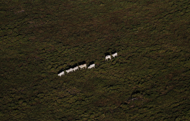 Cattle walk on a tract of Amazon rainforest that has been cleared by loggers and farmers near the city of Novo Progresso, Para State, Brazil. (Photo by Nacho Doce/Reuters)