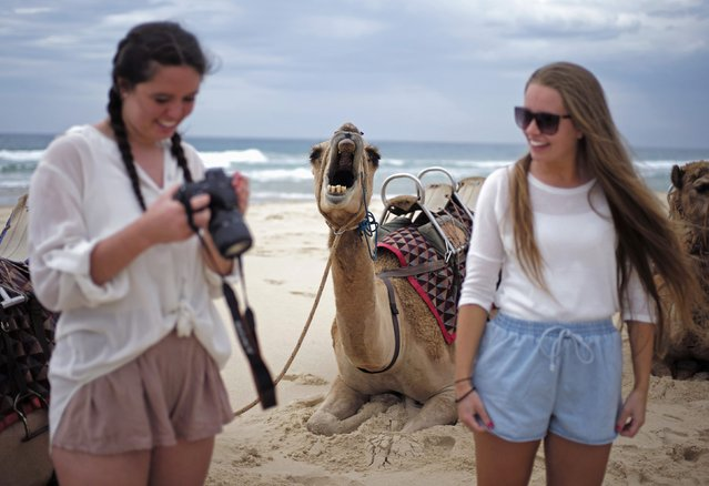 A camel yawns as a tourist checks images on her camera following a ride on a camel safari alongside the Pacific Ocean on Lighthouse Beach, north of Sydney, December 4, 2014. For 25 years camel rides on this beach have given visitors to Australia's holiday coast a rare experience available only in a handful of locations in the country. (Photo by Jason Reed/Reuters)