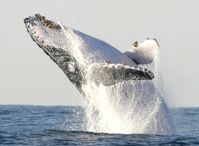 A humpback whale breaches off South Africa's Kwa-Zulu Natal South Coast, in this file photo taken July 9, 2004. A study unveiled on Monday showed that the extinction or precipitous population declines of large land and sea mammals has deprived ecosystems of a vital source of fertilization in their dung, urine and, after death, decomposing bodies. (Photo by Mike Hutchings/Reuters)
