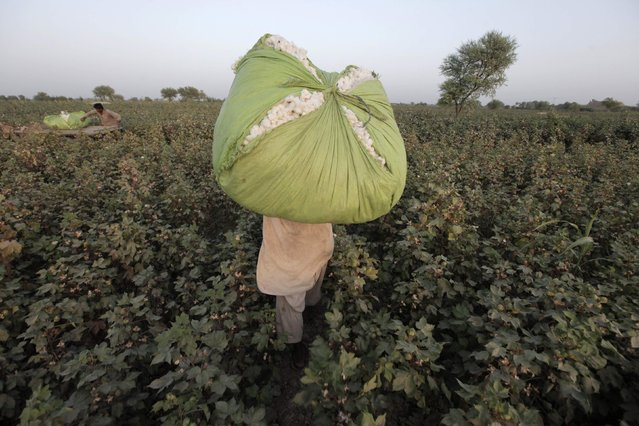A man carries a bundle of cotton blooms on his shoulder, collected by women (unseen) in a field in Meeran Pur village, north of Karachi September 25, 2014. (Photo by Akhtar Soomro/Reuters)