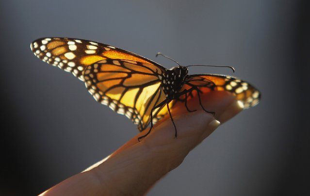 A monarch butterfly rests on a visitor's hand at the Monarch Grove Sanctuary in Pacific Grove, California December 30, 2014. Monarch butterflies may warrant U.S. Endangered Species Act protection because of farm-related habitat loss blamed for sharp declines in cross-country migrations of the orange-and-black insects, the U.S. Fish and Wildlife Service said. (Photo by Michael Fiala/Reuters)
