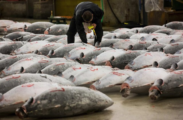 A wholesaler checks the quality of frozen tuna displayed at the Tsukiji fish market before the New Year's auction in Tokyo January 5, 2015. (Photo by Thomas Peter/Reuters)