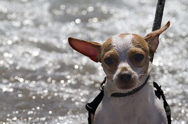 Chile, a 7-month-old Apple Head Chihuahua owned by Farisha Mohammed of Jupiter,takes a walk along the water's edge at the dog surfing competition. (Photo by Taylor Jones/The Palm Beach Post)