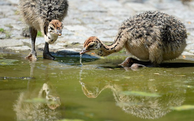 Ostrich chicks drink water from a pool in their enclosure on July 9, 2013 at the Zoo in Berlin. (Photo by Matthias Balk/AFP Photo)