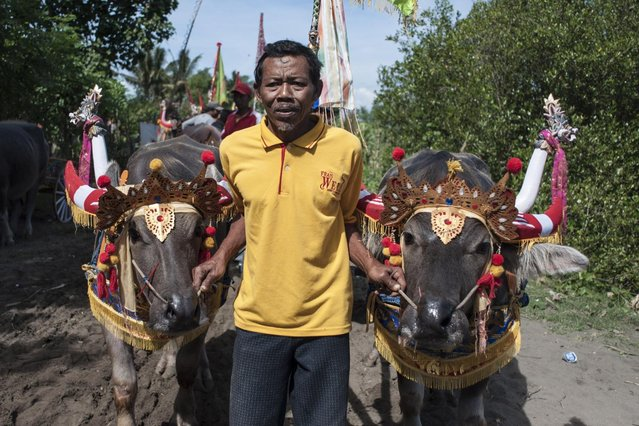 "A man drags his buffalos to the starting line during ""Mekepung"" traditional water buffalo race on July 28, 2013 in Jembrana, Bali, Indonesia. Meaning ""to chase around"", Mekepung is a race of water buffaloes driven by a jockey and was originally designed as a fun game for peasants to spend their free time between the end of harvest and the start of the planting season (Photo by Putu Sayoga/Getty Images)"