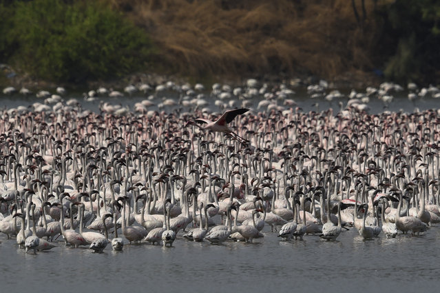 Flocks of flamingos are pictured in a pond in Navi Mumbai on March 29, 2021. (Photo by Punit Paranjpe/AFP Photo)