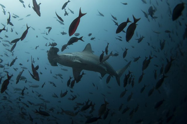 A hammerhead shark swims close to Wolf Island at Galapagos Marine Reserve August 19, 2013. (Photo by Jorge Silva/Reuters)
