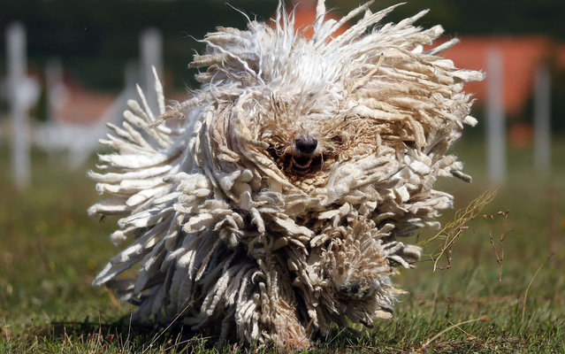 A Komondor, a traditional Hungarian guard dog, shakes its long fur in Bodony, 130 km northeast of Budapest September 3, 2013. Komondors, a traditional Hungarian breed, have a fur coat that weighs 30 kg (60 pounds). The kennel has won several awards but makes hardly any money as dogs without pedigrees have displaced pure breeds from the market in recent years. (Photo by Laszlo Balogh/Reuters)