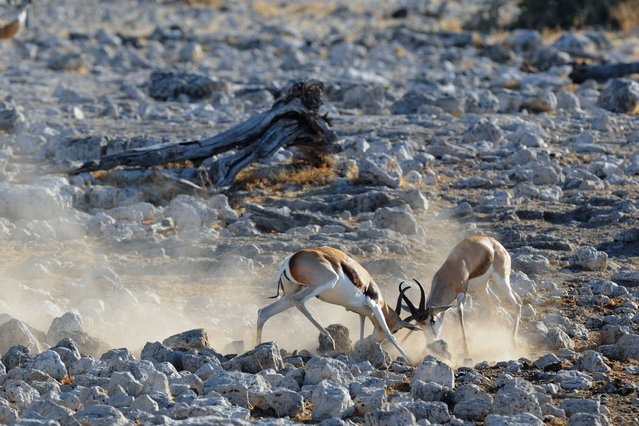 Dust rises up around two sparring springboks as the creatures battle it out for supremacy. (Photo by Alex Bernasconi)