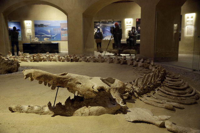 The largest intact Basulosaurus isis whale fossil, which is on display at the Wati El Hitan Fossils and Climate Change Museum, on the opening day, in the Fayoum oasis, Egypt, Thursday, January 14, 2016. (Photo by Thomas Hartwell/AP Photo)