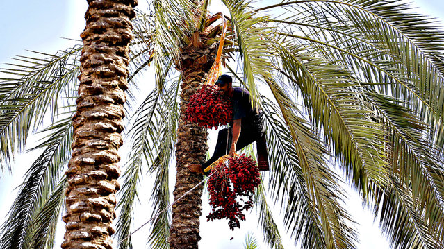 A Palestinian farmer harvests dates from a date palm tree in Khan Yunis, in the southern Gaza Strip, on October 3, 2013. (Photo by Said Khatib/AFP Photo)