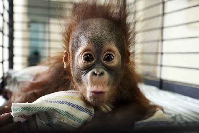 "Four-month-old orangutan Rizki is seen inside his cage at the Surabaya Zoo. An endangered Borneon orangutan died on October 10 at Indonesia's ""death zoo"", the latest in a rash of suspicious animal deaths that have prompted calls to close the notorious site. (Photo by Juni Kriswanto/AFP Photo)"