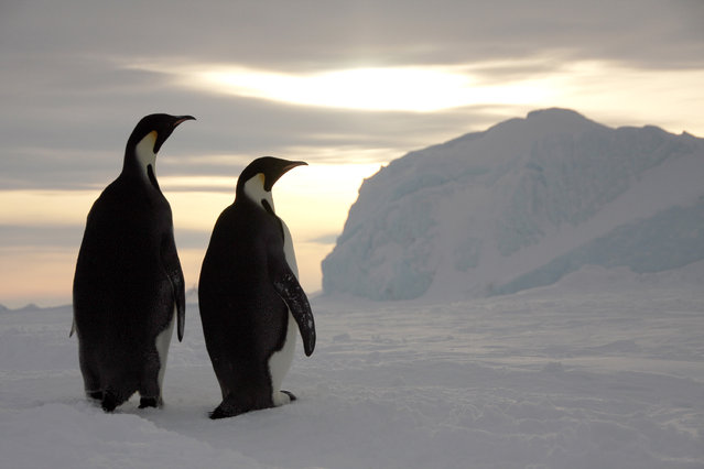 Two adult Emperor penguins. (Photo by Dafna Ben Nun/Caters News)