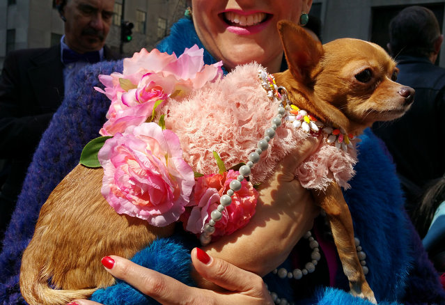 Carmen, a Chihuahua, is carried in the arms of her owner, Melissa Mejias on Sunday, April 5, 2015, during the annual Easter Parade on New York's Fifth Avenue. This year's Easter Parade bore little resemblance to the first one, which started in the 1880s as a strolling display of what prosperous New Yorkers wore to a handful of Fifth Avenue churches. (Photo by Verena Dobnik/AP Photo)