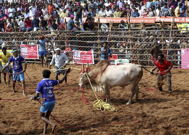 "In this Wednesday, January 16, 2019, photo, owners and others use ropes to control a bull during a traditional bull-taming festival called Jallikattu, in the village of Palamedu, near Madurai, Tamil Nadu state, India. Jallikattu involves releasing a bull into a crowd of people who are expected to hang on to the animal's hump for a stipulated distance or hold on to the hump for a minimum of three jumps made by the bull. The sport, performed during the four-day ""Pongal"" or winter harvest festival, is hugely popular in Tamil Nadu. (Photo by Aijaz Rahi/AP Photo)"