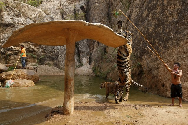 A tiger jumps while it is trained at the Tiger Temple in Kanchanaburi province, west of Bangkok, Thailand, February 25, 2016. (Photo by Chaiwat Subprasom/Reuters)