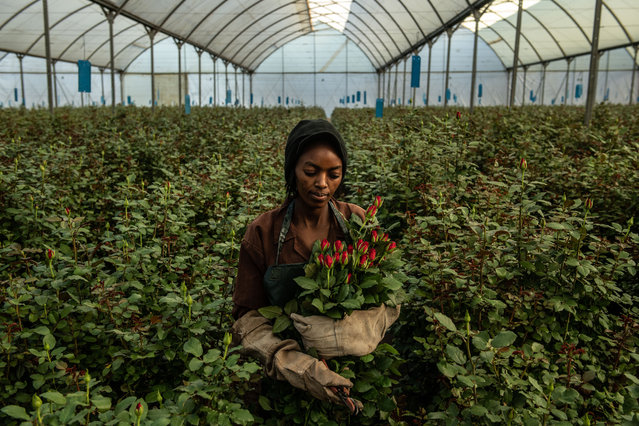 A woman picks roses inside a greenhouse at Wildfire Flowers on February 13, 2019 in Naivasha, Kenya. Kenya is the lead third-country supplier of roses to the European Union, where it accounts for 38% of the market share, according to the Kenya Flower Council, an industry group. Approximately 50% of its exported flowers are sold at auctions in the Netherlands, the source of most of Europes Valentines Day bouquets. Kenyas floriculture industry earned more than $800 million in 2017, providing employment to over 100,000 people in the country, according to industry data. (Photo by Andrew Renneisen/Getty Images)