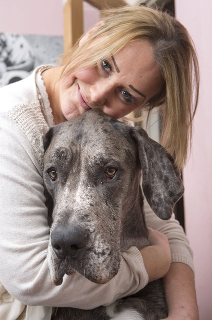 Britain's biggest dog, 18 month old great Dane, Freddy seen with it's owner Claire Stoneman at their home in Southend-on-Sea, Essex, England. (Photo by Matt Writtle/Barcroft Media)