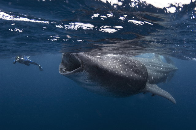This diver almost got sucked into the mouth of a massive whale shark as it feeds on plankton. But far from staring into the jaws of death – the shark, which are the  sea's largest fish, is actually vegetarian. The relieved diver escaped from the encounter unscathed and continued to  enjoy the presence of the incredibly docile animals. The stunning photograph, by Mauricio Handler, was taken during a feeding session where more than 600 of the huge creatures  gathered to feed on tuna spawn. (Photo by Mauricio Handler/Daily Mail/Solent)