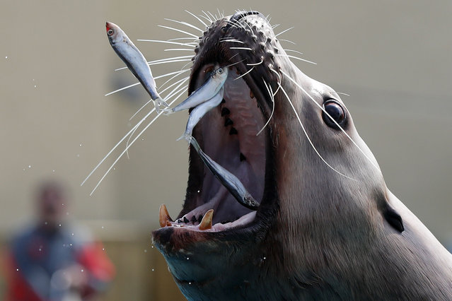 A sea lion eats sardines in the Marineland theme park on the French riviera city of Antibes, southeastern France, on March 17, 2015. (Photo by Valery Hache/AFP Photo)