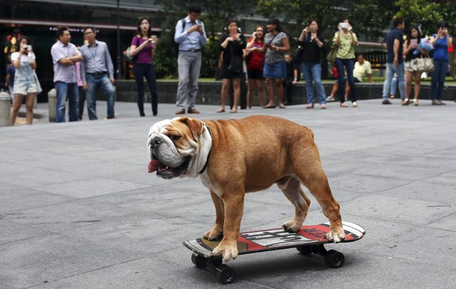 "Four-year-old British Bulldog ""Bobo"" skateboards past office workers during evening rush hour at Singapore's central business district May 8, 2015. The dog, which can skateboard independently, was brought to the business district by its owner as part of a promotion for a luxury pet hotel and resort. (Photo by Edgar Su/Reuters)"