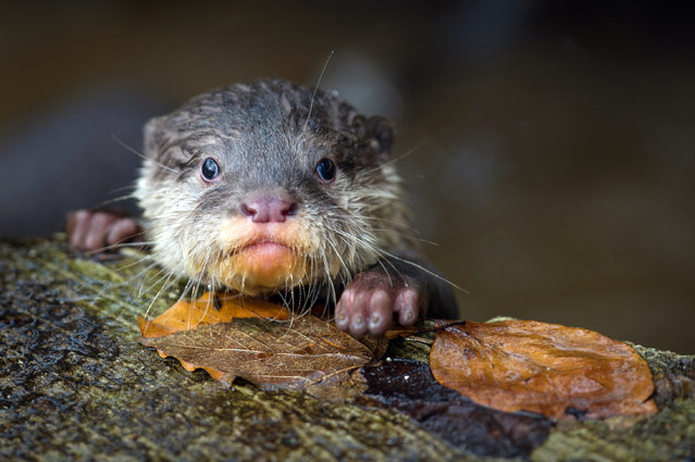 A young oriental small-clawed otter at the zoo in Neumuenster, Germany, March 5, 2014. The six young otters (one male, five female) were born on December 7, 2013. (Photo by Maja Hitij/EPA)