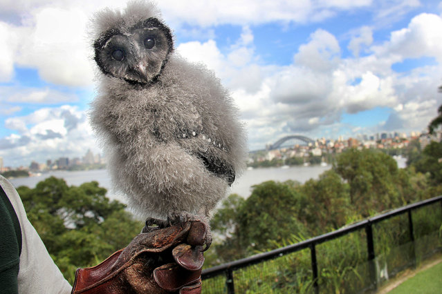 An adorable baby owl has proved to be a real heart-breaker thanks to its heart-shaped head. Although Griffin the Lesser Sooty Owl might look like a feather duster, the tiny eight-week old chick will soon be ready to fly. And the heart outline that surrounds his giant eyes and beak means he is set to be the star of the bird show at Taronga Zoo, Sydney. (Photo by Caters News Agency)