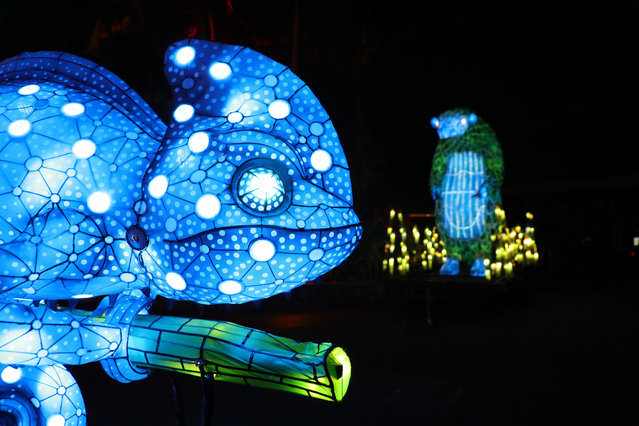 An illuminated lantern sculpture of a chameleon during the media preview of Vivid Sydney at Taronga Zoo on May 19, 2019 in Sydney, Australia. (Photo by Richard Milnes/Rex Features/Shutterstock)