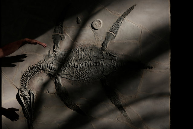 The fossil of a new plesiosaurus species, nicknamed Mauriciosaurus Fernandezi, is pictured during a news conference at the house of  Mauricio Fernandez, mayor of  San Pedro Garza Garcia, on the outskirts of Monterrey, Mexico February 27, 2017. (Photo by Daniel Becerril/Reuters)