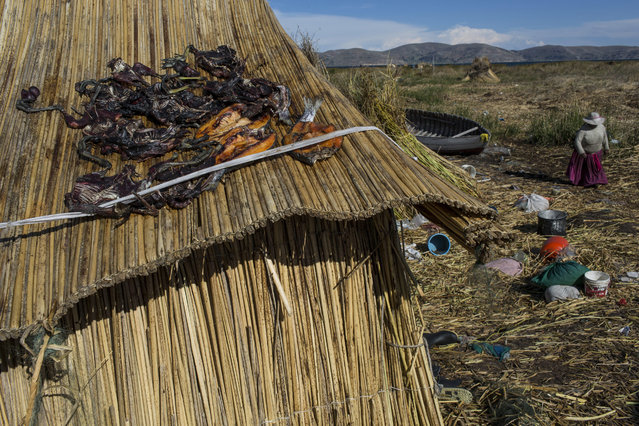 In this February 4, 2017 photo, trapped birds and caught trout lay out to dry on the thatched roof of a home in Kapi Cruz Grande, a village on the shore of Lake Titicaca in the Puno region of Peru. A government-sponsored study conducted in 2014 found mercury, cadmium, zinc and copper in four types of fish that form part of local population's diet at levels higher than those advised for human consumption. (Photo by Rodrigo Abd/AP Photo)