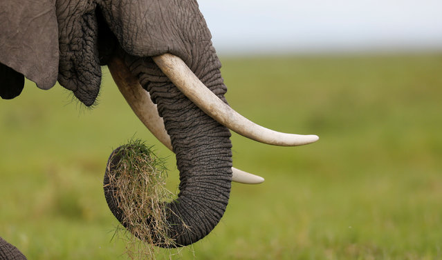 An elephant grazes in the open field within the Amboseli National Park, southeast of Kenya's capital Nairobi, April 25, 2016. (Photo by Thomas Mukoya/Reuters)