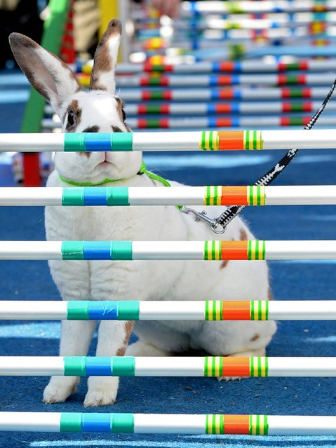 A rabbit stands behind a hurdle during a Easter Rabbit Steeple Chase race at the Old Town Square in Prague. (Photo by Filip Singer/EPA)