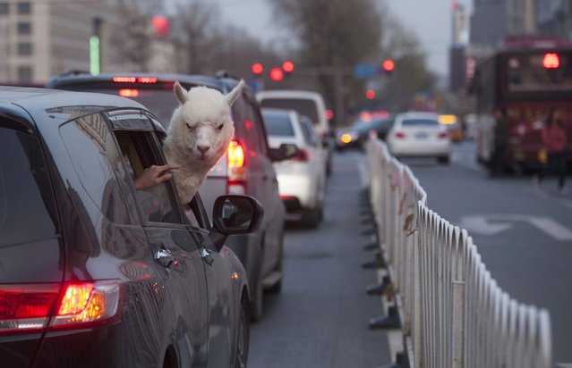An alpaca looks out from a car on a busy street in Changchun, Jilin province April 16, 2014. According to local media, a newly-opened bar in Changchun rented the 5-year-old male alpaca from Australia hoping to attract more customers. (Photo by Reuters/China Daily)