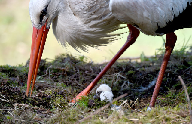 A stork cares for its chicks in their nest at the Eekholt wildlife park near Grossenaspe, northern Germany, on May 2, 2016. (Photo by Carsten Rehder/AFP Photo/DPA)