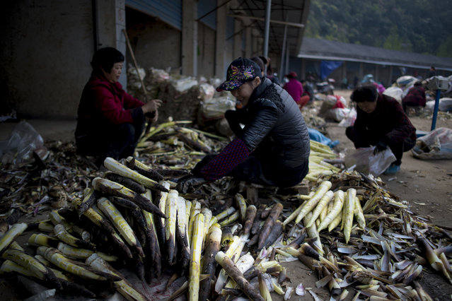 This picture taken on April 12, 2017 shows women cleaning bamboo shoots at a market in Taihuyuan near the city of Lin'an, Zhejiang Province. (Photo by Johannes Eisele/AFP Photo)