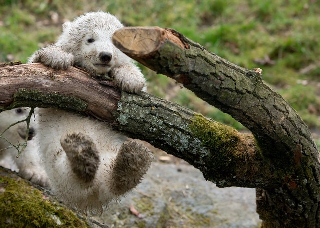 Two 14-week old polar bear twins explore their enclosure at the Hellabrunn Zoo for the first time in Munich, Germany, 19 March 2014. The two cubs who were born on 09 December 2013 were introduced to public on the morning of 19 March. (Photo by Sven Hoppe/EPA)