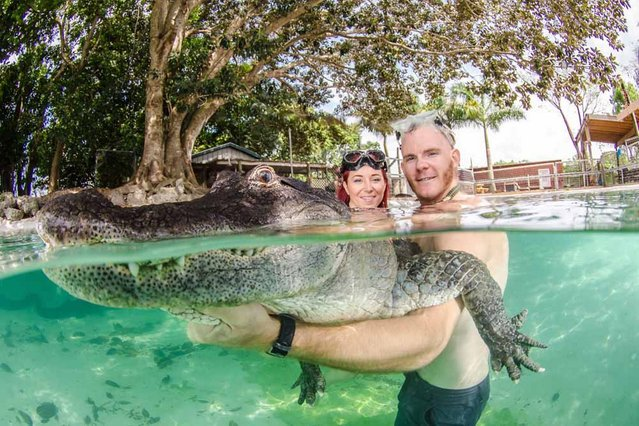 Ashley Lawrence and Chris Gillette swim with a rescued alligators, deemed a nuisance by the state of Florida. (Photo by John Chapa/Barcroft Media)
