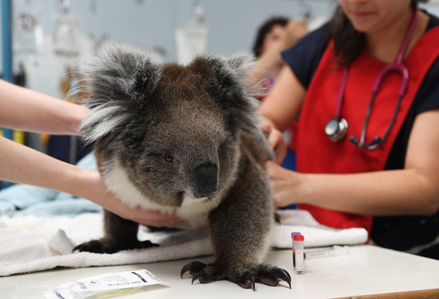 A koala receives treatment from a vet at Adelaide Koala Rescue on January 08, 2020 in Adelaide, Australia. There are grave fears for the future of the koala population on Kangaroo Island following the catastrophic bushfire last Friday 3 January, with more than half of the island's 50,000 koala population believed to have perished. Two people were killed and more than 155,000 hectares have been burned, along with at least 56 homes were also destroyed. (Photo by Mark Brake/Getty Images)