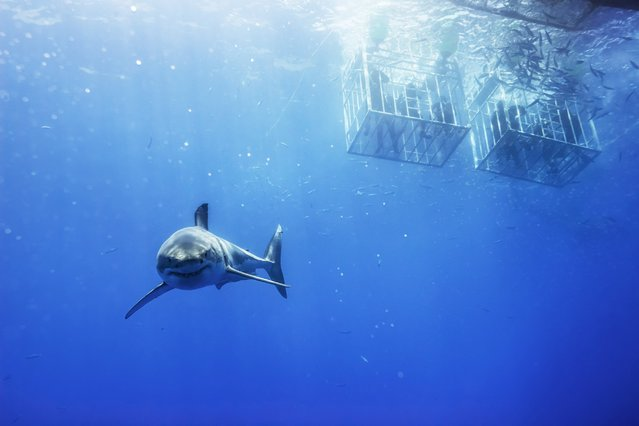 Great White Shark, Isla Guadeloupe, 2012. (Photo by Todd Bretl)