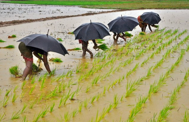 Laborers plant saplings in a paddy field in the Indian city of Bhubaneswar, July 19, 2014. (Photo by Reuters/Stringer)