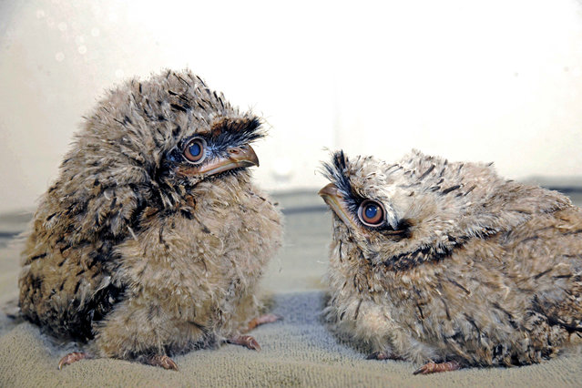 August 2, 2012 photo provided by the Chicago Zoological Society, two tawny frogmouth chicks hatched on July 9 and 11 are seen at Brookfield Zoo in Brookfield, Ill. They are now a little over 3 weeks old and are being handreared by zookeepers because the parents abandoned the nest after only a few weeks of incubating the eggs. To give the chicks a chance at surviving, a decision was made to pull the eggs and put them in an incubator, located in an off exhibit area at the Zoo. (Photo by Jim Schulz/AP)