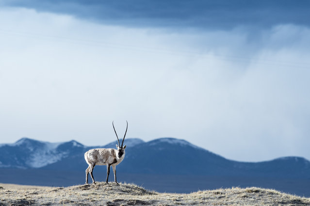 A Tibetan antelope in Hoh Xil, Qinghai, China on July 14, 2016. Over the past decade ecological degradation of the fragile Sanjiangyuan national park eco-system has been curbed through conservation efforts. (Photo by Xinhua/Barcroft Images)
