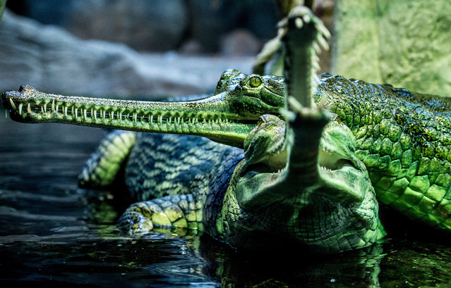 An Indian gharial opens its jaws in its basin in the Prague zoo, Czech Republic, 26 August 2015. (Photo by Filip Singer/EPA)