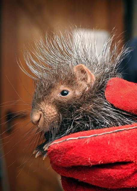 A baby porcupine gets his first check-up at the Chester Zoo in England. Two African crested porcupines, named Stempu and Noko, were born to mom Roxie and dad Nungu in September. Keepers gave the duo physical examinations, inserted microchips and took their weights during the routine checks. (Photo by Steve Rawlins/Chester Zoo)