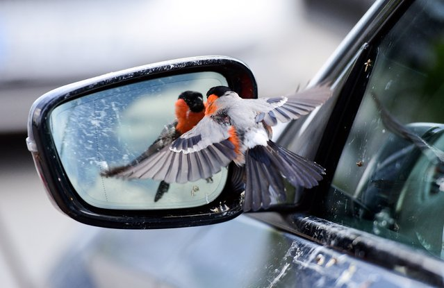 A bullfinch bird sees himself in the mirror of a car in Rheda-Wiedenbrueck on June 19, 2020. (Photo by Ina Fassbender/AFP Photo)