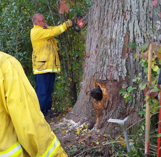 Two bear cubs became trapped in a tree near Milltown, Wis., on Friday after debris fell down and blocked their exit, leaving two snouts sticking out. A cabin owner called the Wisconsin Department of Natural Resources after she followed cries to a tree and came across the two cubs. (Photo by Wisconsin DNR via KAR)