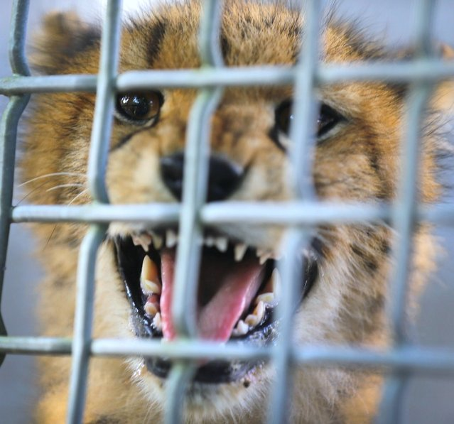 One of two 9-month old Cheetahs is seen after it was released into a quarantine facility at Zoo Miami on November 29, 2012 in Miami, Florida. The two sub-adult brothers who arrived today were captive-born on March 6th of this year at the Ann van Dyk Cheetah Centre just outside of Pretoria, South Africa. (Photo by Joe Raedle)
