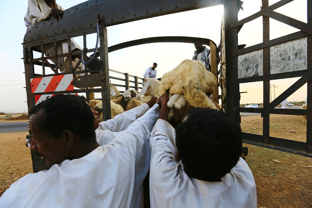 People load sheep into a truck during preparations ahead of the Eid al-Adha festival in Khartoum September 10, 2016. (Photo by Mohamed al-Sayaghi/Reuters)